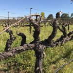 Zinfandel – the Great American Grape